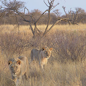 Tsavo West National Park Lions.